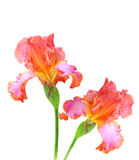 Pink Iris. Two bearded iris isolated on white background royalty free stock images