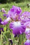Pink Iris Stock Image
