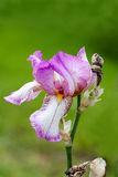 Pink iris flower Royalty Free Stock Images
