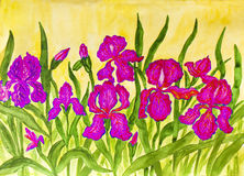 Pink irises Stock Images