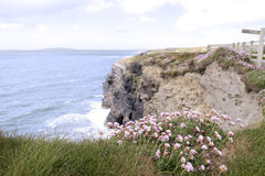 Pink Irish wildflowers on the cliffs edge Stock Photography