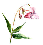 Pink isolate balsam flower in watercolor Stock Photo