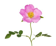 Pink isolated brier flower on stem Stock Images