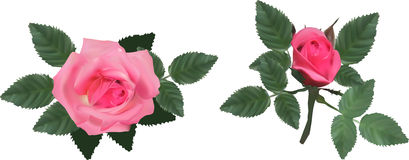 Pink isolated two roses with leaves Stock Photos