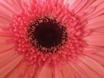 Blushing Shy. Pink and its blushing with the beauty of its own self. Magical nature Royalty Free Stock Image