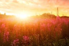 Pink Ivan-tea Or Epilobium Herbal Tea On Sunset Field, Close-Up. Flowers Of Rosebay Willowherb In The Sunset.  stock photography
