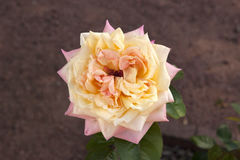 Pink and Ivory American Beauty Rose Royalty Free Stock Photo