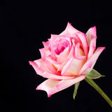 Pink and ivory tea rose on black background Stock Image