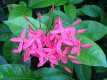 Pink Ixora Coccinea Flowers in South Beach, Miami. Royalty Free Stock Images