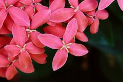 Pink Ixora Stock Photos