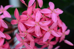Pink Ixora. Flower is colourful Royalty Free Stock Photos