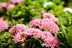 Pink ixora flower on the garden Royalty Free Stock Photography