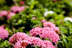 Pink ixora flower on the garden Stock Photography