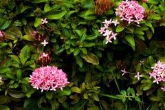 Pink ixora flower on the garden Stock Photo