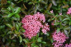Pink Ixora Flower Stock Photos