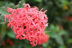 Pink ixora flower Royalty Free Stock Images
