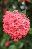 Pink ixora flower Royalty Free Stock Images
