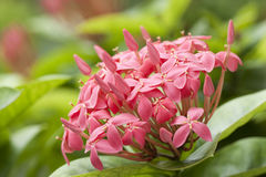Pink ixora flowers Royalty Free Stock Image