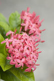 Pink ixora flowers Stock Photography