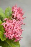 Pink ixora flowers Stock Photography