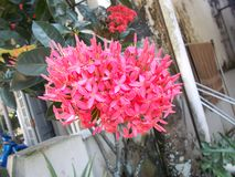 Pink ixora flowers Royalty Free Stock Photo