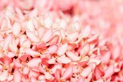 Pink Ixora or West Indian Jasmine Flower. Macro of Pink Ixora or West Indian Jasmine Flower Stock Photo
