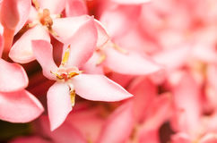 Pink Ixora or West Indian Jasmine Flower Royalty Free Stock Photos