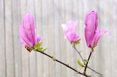 Pink Jane magnolia Royalty Free Stock Images