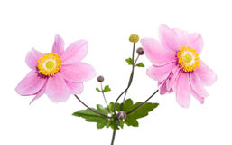 Pink japanese anemone Royalty Free Stock Photography
