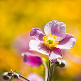 Pink Japanese Anemone or Anemone japonica flower Royalty Free Stock Photography