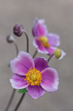 Pink Japanese Anemone Royalty Free Stock Photo