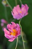 Pink Japanese anemone flower Stock Image