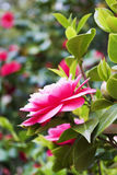 Pink japanese camellia flower close up Royalty Free Stock Image
