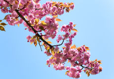 Pink  japanese cherry blossom Stock Photo