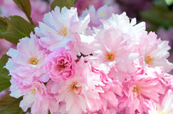 Pink  japanese cherry blossom Stock Photography