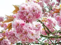 Pink Japanese cherry blossoms Stock Images