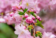 Pink japanese cherry flowers close-up Royalty Free Stock Photos
