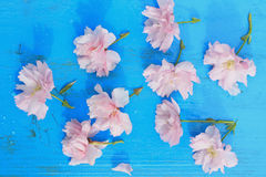 Pink Japanese cherry flowers Stock Image