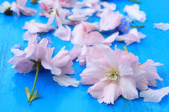 Pink Japanese cherry flowers Stock Images