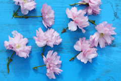 Pink Japanese cherry flowers Royalty Free Stock Images