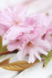 Pink Japanese cherry flowers Royalty Free Stock Image