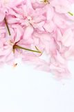 Pink Japanese cherry flowers Royalty Free Stock Photos