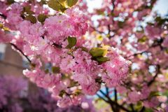 Pink Japanese cherry-tree blossom. Sakura Royalty Free Stock Photo