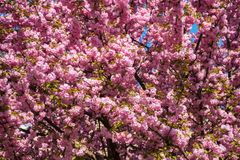 Pink Japanese cherry-tree blossom. Sakura Stock Images