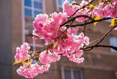 Pink Japanese cherry-tree blossom. Sakura Royalty Free Stock Image