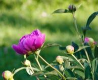 Pink Japanese Peony Royalty Free Stock Image