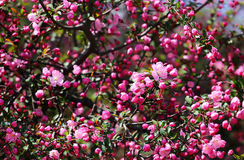 Pink Japanese Plum in Bloom. Stock Photography