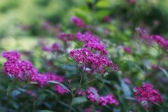 Pink Japanese Spiraea Bush. Pretty Pink Japanese Spiraea Bush Stock Images