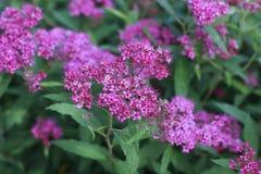 Pink Japanese Spiraea. Flower in a garden Stock Photo