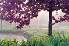 Pink Japanese tree in the morning light, spring garden Stromovka in Prague Stock Image